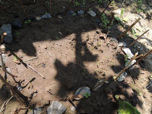 日陰地植えの発芽率は・・・